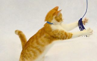 declawed cat playing